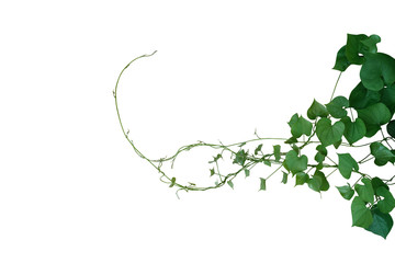 Wall Mural - Heart shaped green leaves twisted vines of wild yam or air potato (Dioscorea sp.) tuberous climbing vine jungle plant bush  isolated on white background, clipping path included.