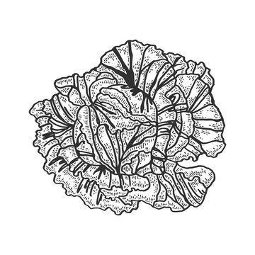 cabbage vegetable sketch engraving vector illustration. T-shirt apparel print design. Scratch board style imitation. Black and white hand drawn image.