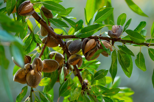 Ripe almond nuts on tree ready for harvest