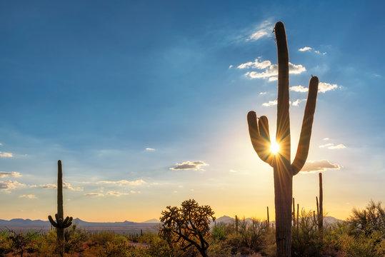 Silhouette at Saguaro cactus at Sunset in Sonoran desert in Phoenix, Arizona, USA