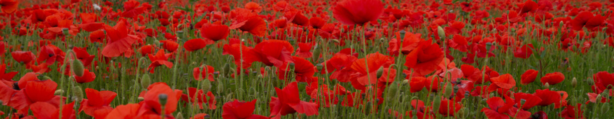 Recess Fitting Canada Red Poppies in Flanders Fields symbol for remembrance Day WW1 - For textured soft backdrops.