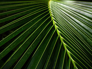 Wall Mural - coconut leaves texture
