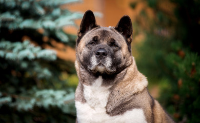 Dog breed American Akita portrait close up in spruce trees