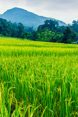 Garden Poster Rice fields Green and yellow color terraced rice field in north of Thailand