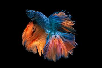 "Beautiful colors""Halfmoon Betta"" capture the moving moment beautiful of siam betta fish in thailand on black backgroun"