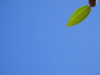 Wall Mural - spring green plumeria leaf with blue sky background
