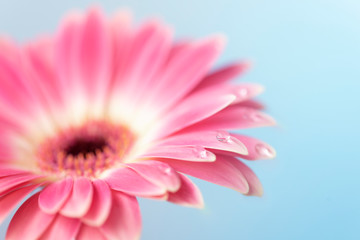 Poster de jardin Gerbera Beautiful close-up Gerbera daisy with drops. Macro photography.