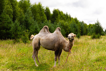 Camel walking on the green lawn