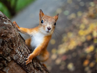 Red squirrel on a tree posing