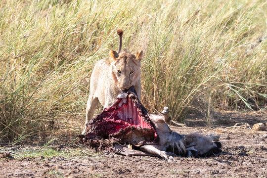 Juvenile lion will wildebeest kill in Amboseli
