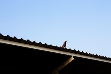 Pigeons perched on the roof of the house