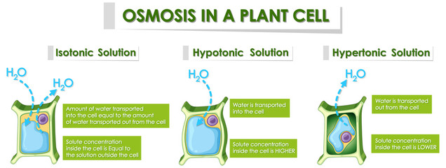Diagram showing osmosis in plant cell
