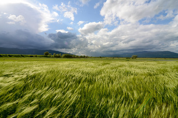 Ears of wheat crop on the field on spring day. Close up of Green barley field in countryside. Spikelets of rye swaying in the wind. Young ripe ears swaying on the wind. Agriculture and food production Fototapete