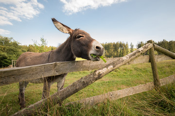 Spoed Foto op Canvas Ezel A donkey stands on the meadow in natural landscape. He looks over wooden fence. Donkey eats dandelion. Lateral shot in wide angle.