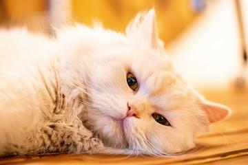 고양이,pet,whitecat,animal,귀여운,냥이사진,흰털고양이