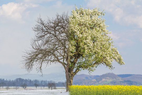 Climate change transition winter to spring summer time over year. Global warming weather with single big tree in nature. Cold snow has shift to warm heat. Icy branches have crossover to juicy leaves