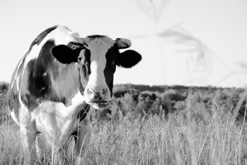 Wall Mural - Close up of Holstein cow in pasture, rustic black and white fall farm scene.