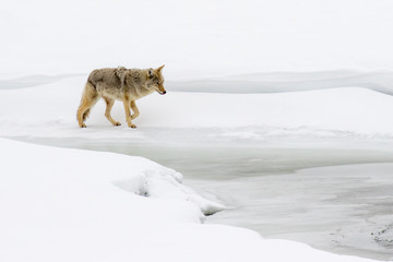Stalking Coyote in the snow along a Frozen River