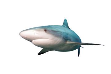 Shark isolated on white background .