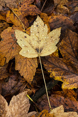 Yellow wet maple leaf on ground with other brown leaves