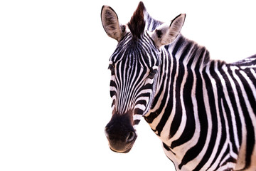 Fototapeta Close up of a zebra on a white background