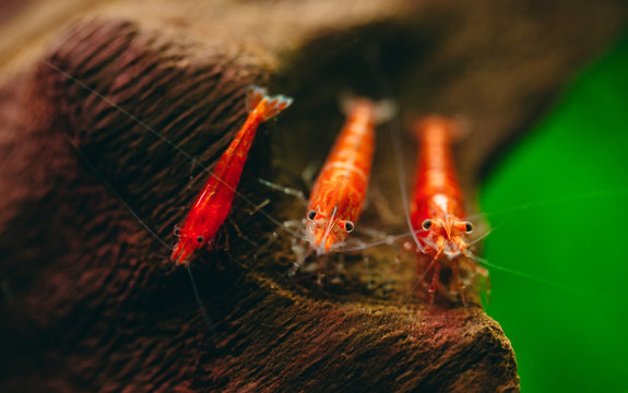Cherry fire red dwarf shrimps stay on wood decoration in fresh water aquarium tank with dark and green background.