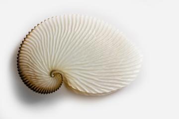 Octopus shell
