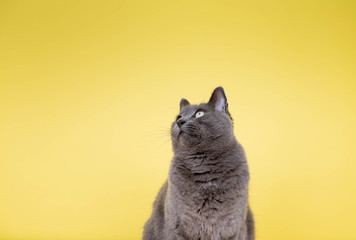 Short Haired Gray Cat Sitting on Yellow Background with Room for Text