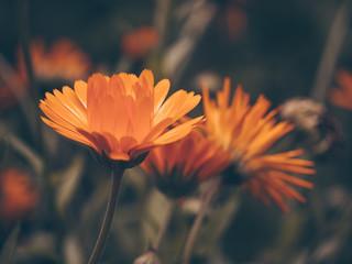 Fototapeta Beautiful fairy dreamy magic orange flower on blurry background. Dark art moody floral. Macro view of calendula obraz