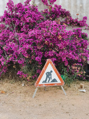 Close up of bougainvillea in front of construction sign
