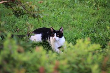 Kot domowy - Czarno Biały