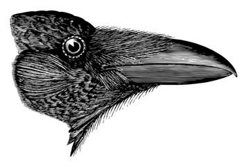 American Raven vintage illustration.