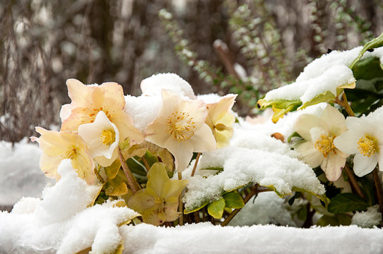 Snow-covered helleborus niger by jziprian