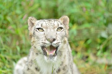 ユキヒョウ 雪豹