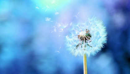 dandelion in the blue blurred photo background