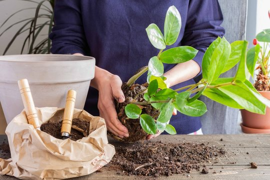Woman replanting Zamioculcas flower in a new brown clay pot, the houseplant transplant at home