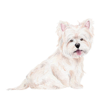 Cute white west highland terrier on background; watercolor hand draw illustration
