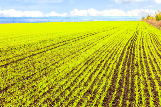 Smooth rows of sprouts of winter wheat sprouted in a vast field.