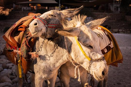 Loving donkeys, used for tourist transportation, Petra, Jordan