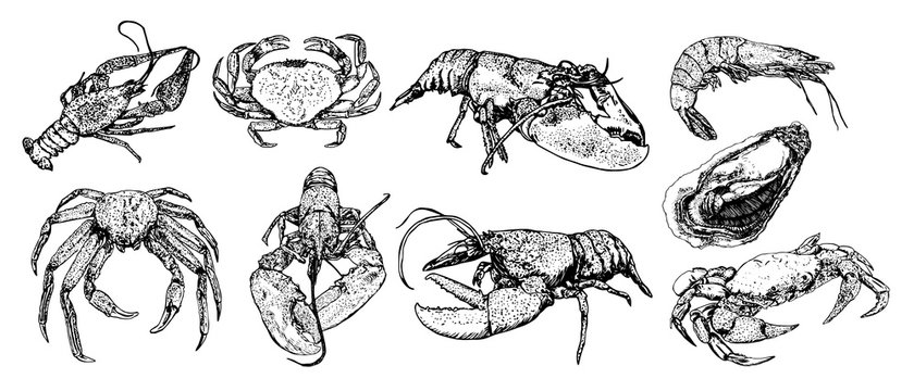 Set of sketch lobster, crab, crab, shrimp, oyster, black line isolated on white background