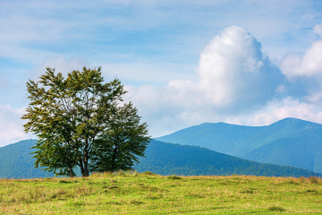 trees on the edge of grassy meadow in mountains. beautiful sunny morning with clouds above the distant ridge. early autumn in green and blue