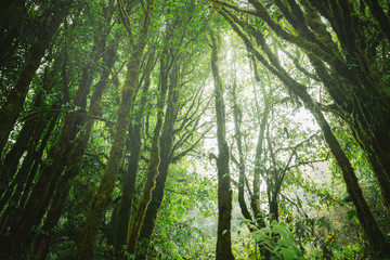 Fog in the forest,doi inthanon national park in chaing mai, thailand,Vintage style photo with custom white balance, color filters, soft focus effect