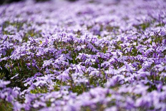 芝桜, 5月, 花, 日本, 富士