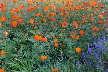 Blütenmeer, Blüten, Hecke Fotoväggar