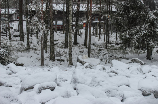 A white fox lies on a snowy stone in a winter forest in northern Finland.