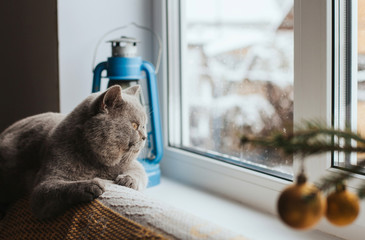 A gray Scottish cat lies on the back of the sofa and looks out the window. The cat is watching the...