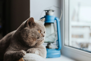 Foto op Aluminium Kat A gray Scottish cat lies on the back of the sofa and looks out the window.