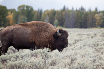 American Buffalo in field of save