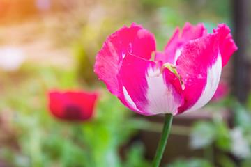 Opium poppy Flowers blossom on wild field..Red Opium poppy.