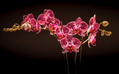 Obraz Falenopsis,  ćmówka, Phalaenopsis multiflora roślina z rodziny storczykowatych, orchidea, storczyk - fototapety do salonu